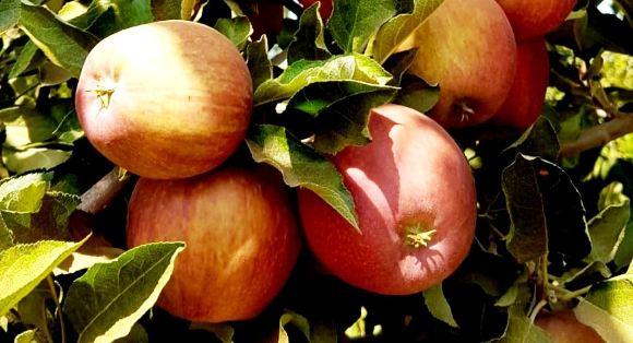 רגע לפני שאתם טובלים תפוח בדבש…